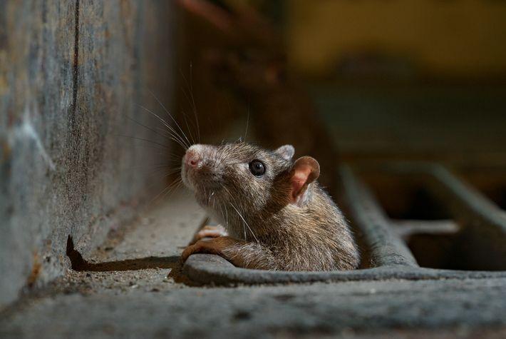 ¿Todo despejado? Una rata neoyorquina se asoma por un sumidero.