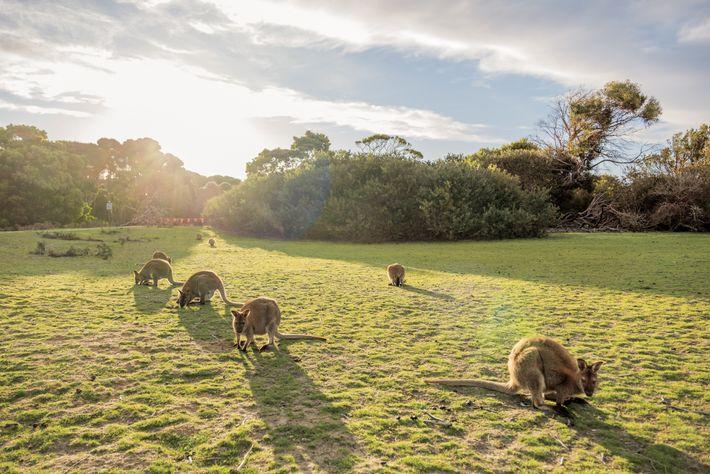 Los ualabíes, como estos en el Parque Nacional de Narawntapu, pueden estar expuestos al herbicida atrazina a ...