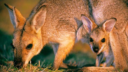 Los ualabíes nacen con el tamaño de una gomita y terminan de desarrollarse en las bolsas de ...