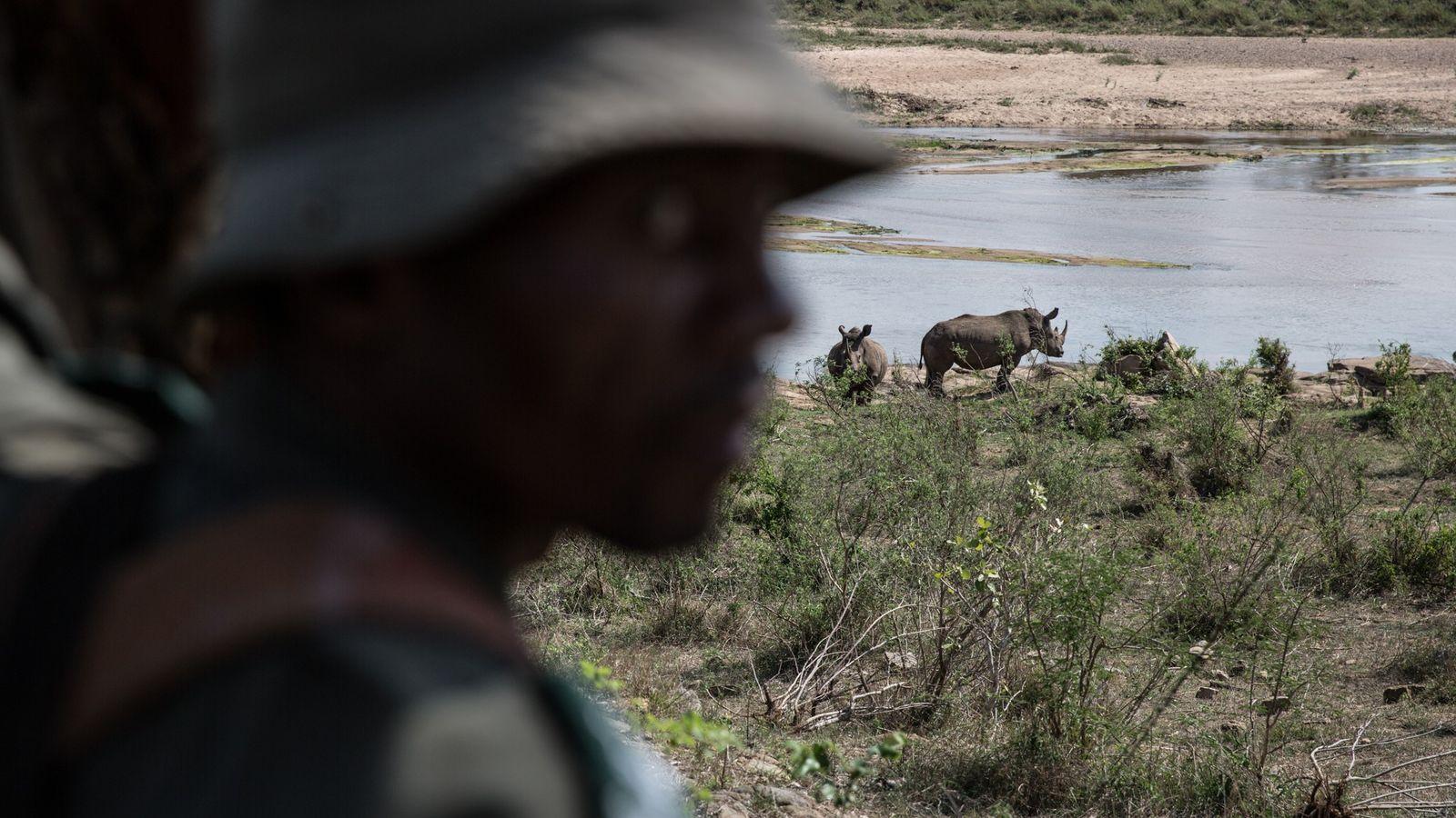 Un guardabosques controla que no ingresen cazadores furtivos al Parque Nacional Kruger, donde habitan alrededor del ...