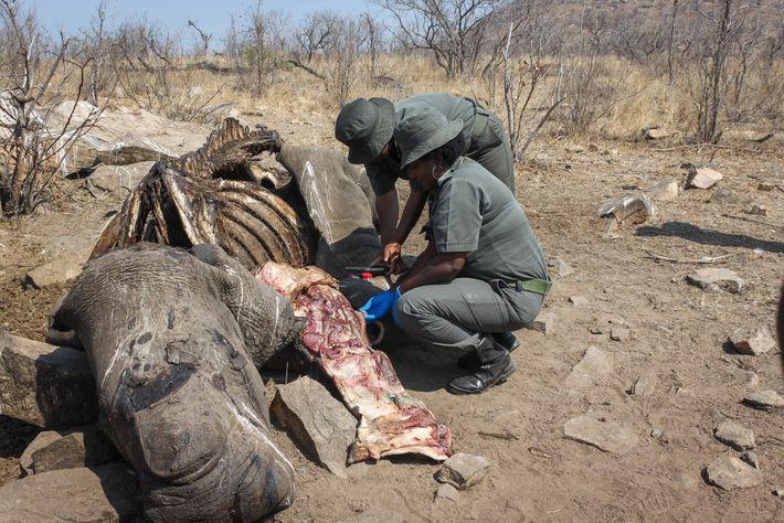 Los investigadores ambientales de los Parques Nacionales de Sudáfrica recolectan tejidos y otras muestras de un ...