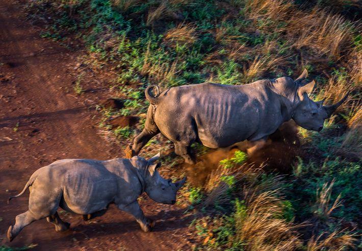 Estos rinocerontes blancos llegaron desde Kruger hasta el coto de caza Sabie de Mozambique, junto a ...