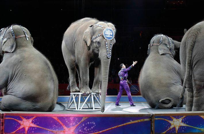 El año que viene, los elefantes retirados de los circos Ringling Bros. y Barnum & Bailey, ...