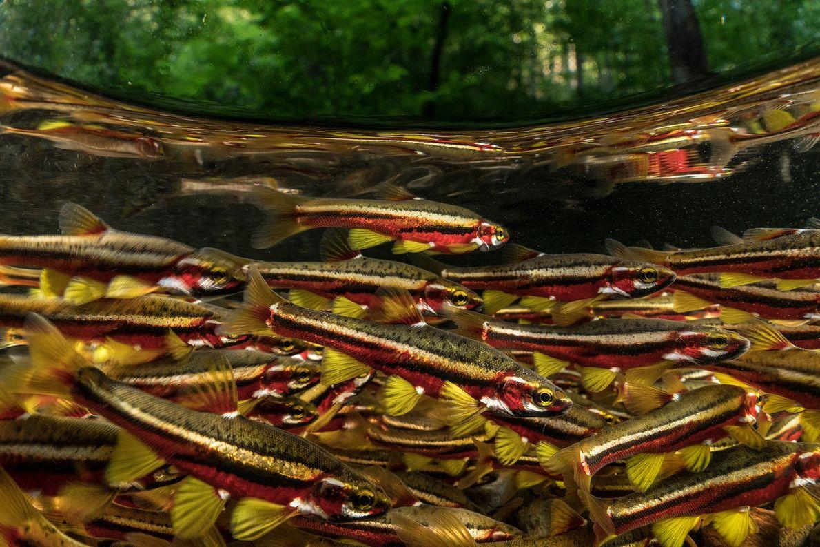 Los Chrosomus tennesseensis toman colores brillantes cuando se reproducen. Se consideran vulnerables a extinguirse, y algunas ...