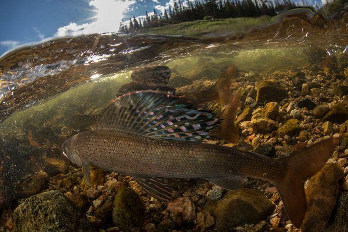 El pez tímalo ártico macho eleva sus aletas dorsales parecidas a una mariposa para indicar que ...