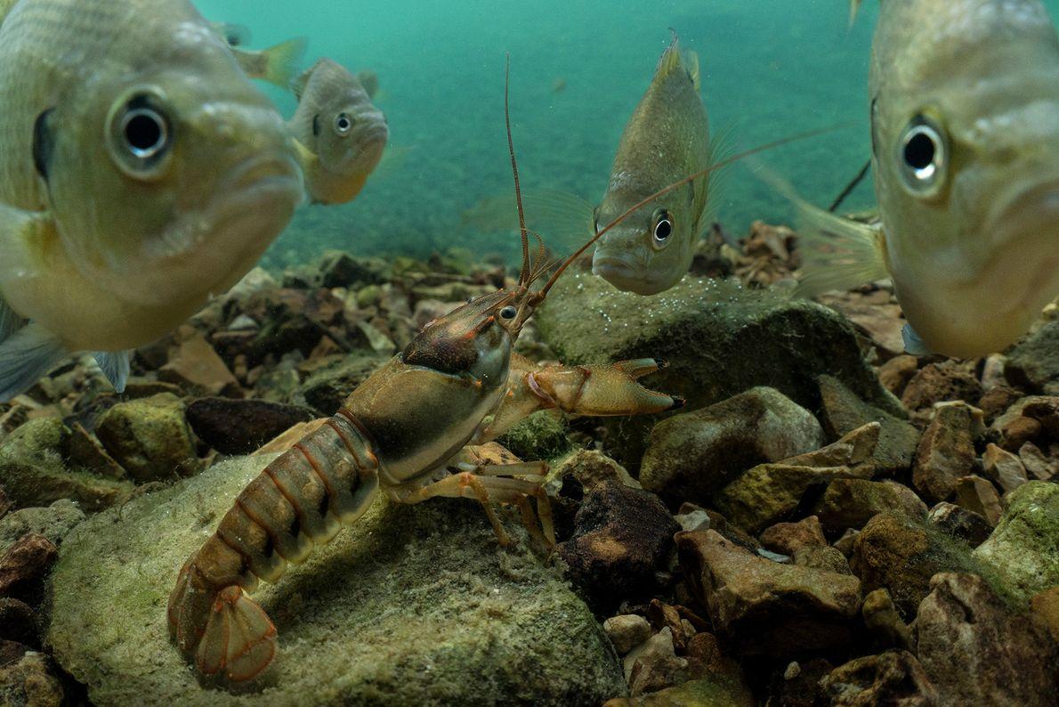 Un grupo de mojarras oreja azul curiosas, también conocidas como bremas, rodean a un cangrejo de ...