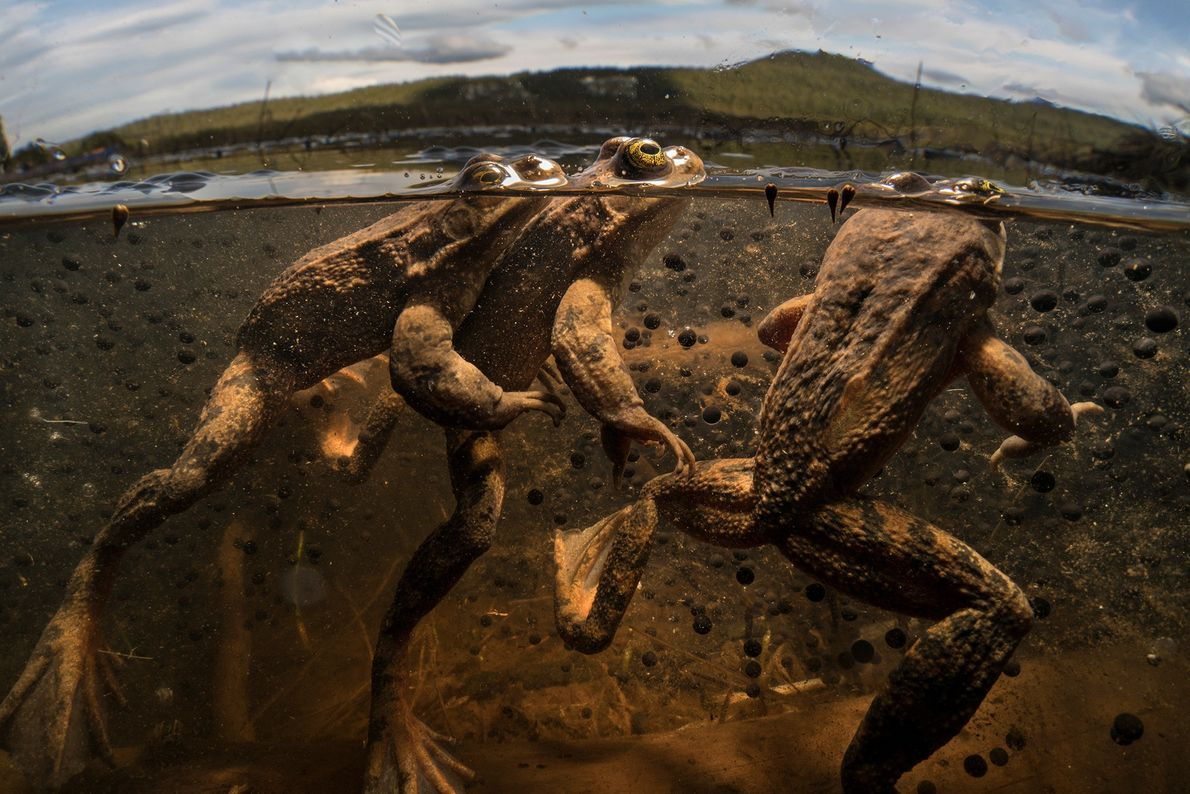 Tres ranas manchadas de Oregon compiten por la oportunidad de fertilizar los futuros huevos de las ...
