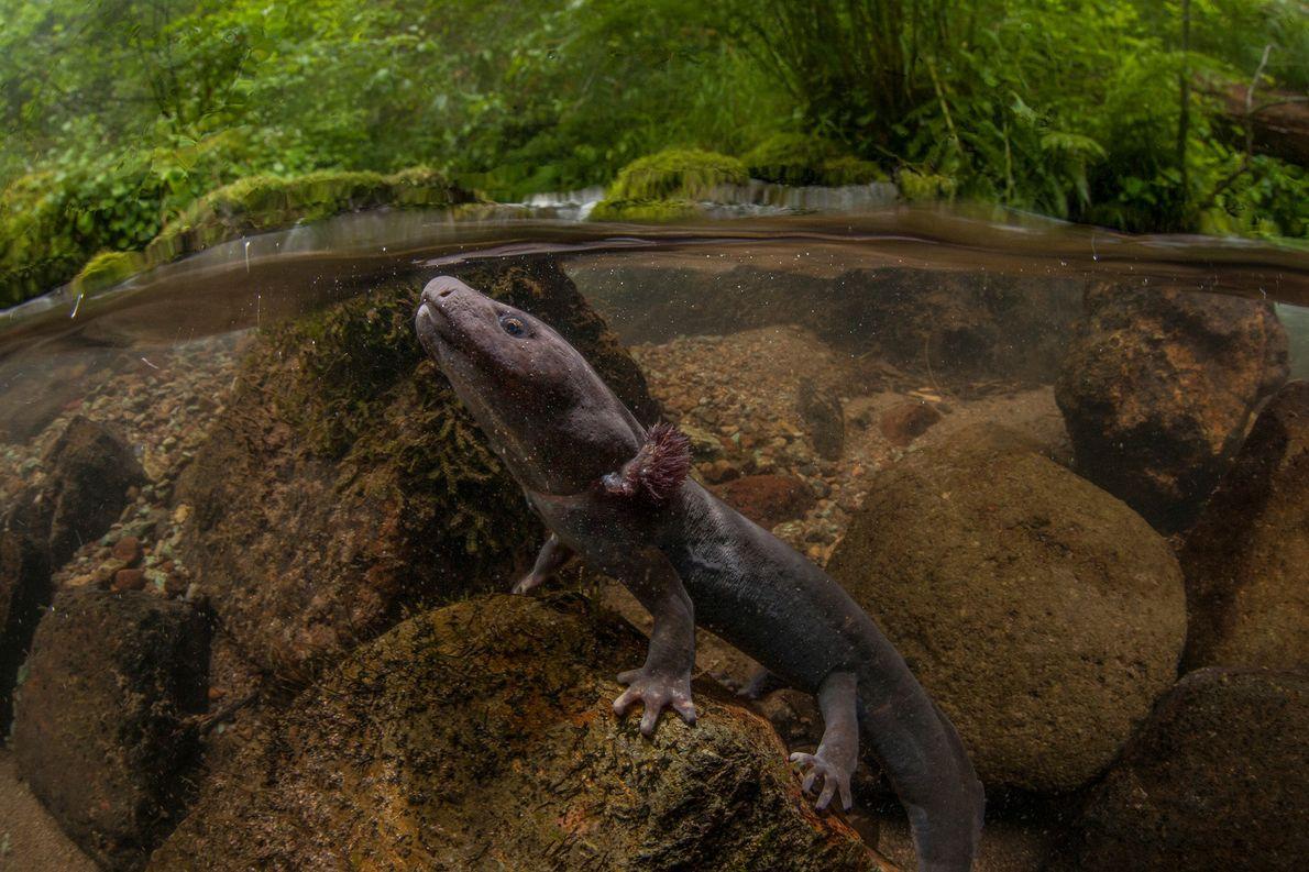 Esta salamandra gigante del Pacífico sale a la superficie para respirar. A pesar de que estas ...