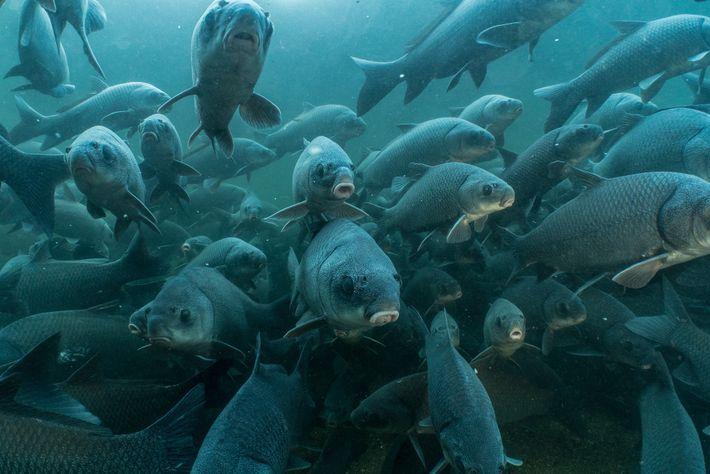 Después de las tormentas de primavera, miles de peces búfalo migran del curso principal del río ...
