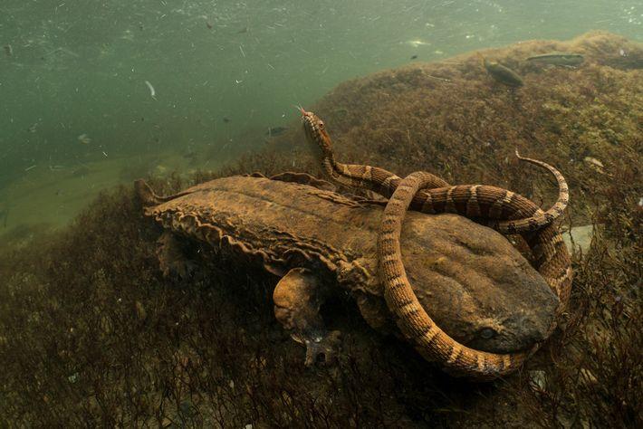 Esta salamandra gigante, conocida como salamandra americana, espera cazar una serpiente de agua del norte para ...