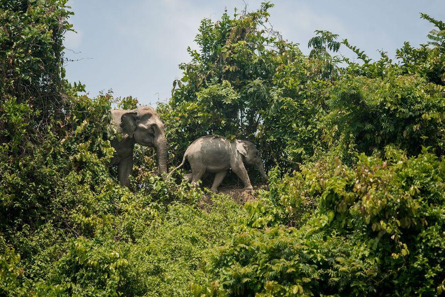 Dos elefantes caminan en el bosque Inani, que está rodeado por los campamentos de refugiados. A medida que los campamentos se expanden y el bosque se reduce, los elefantes corren el riesgo de quedarse sin alimentos y la endogamia potencial crece.