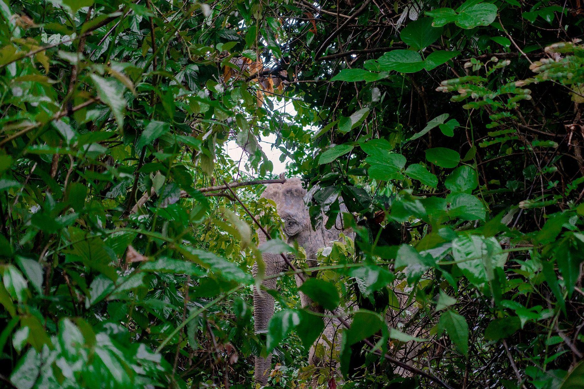 Un elefante asiático mira a través del ramaje en el bosque Inani de Bangladesh, en el borde del campamento de refugiados más grande del mundo. El elefante es uno de los 38 atrapados en el bosque adyacente al campamento, que bloquea las rutas de migración de los elefantes.