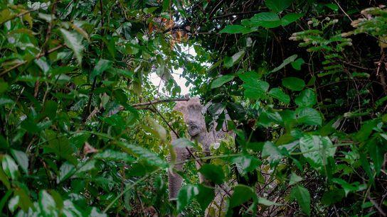 Un elefante asiático mira a través del ramaje en el bosque Inani de Bangladesh, en el ...