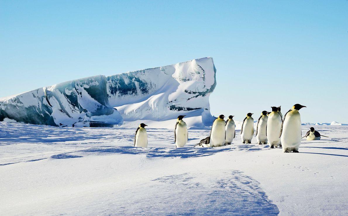 Un iceberg verde sobresale a través de la nieve cerca de un grupo de pingüinos emperadores.