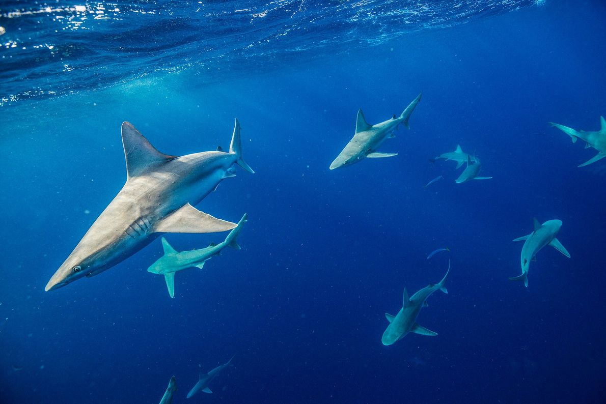 Tiburón trozo. Islas hawaianas.