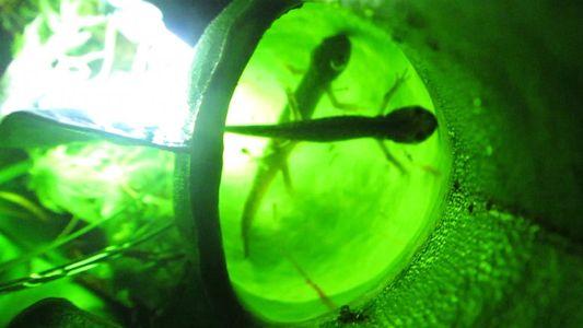 Fenómeno raro: Estas plantas carnívoras comen salamandras