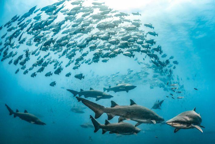 Los tiburones tigre de arena y los peces espada nadan en las aguas cristalinas sobre un ...