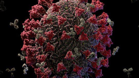 La superficie del virus SARS-CoV-2 está cubierta de picos de proteínas (en rojo). La vacuna de ...