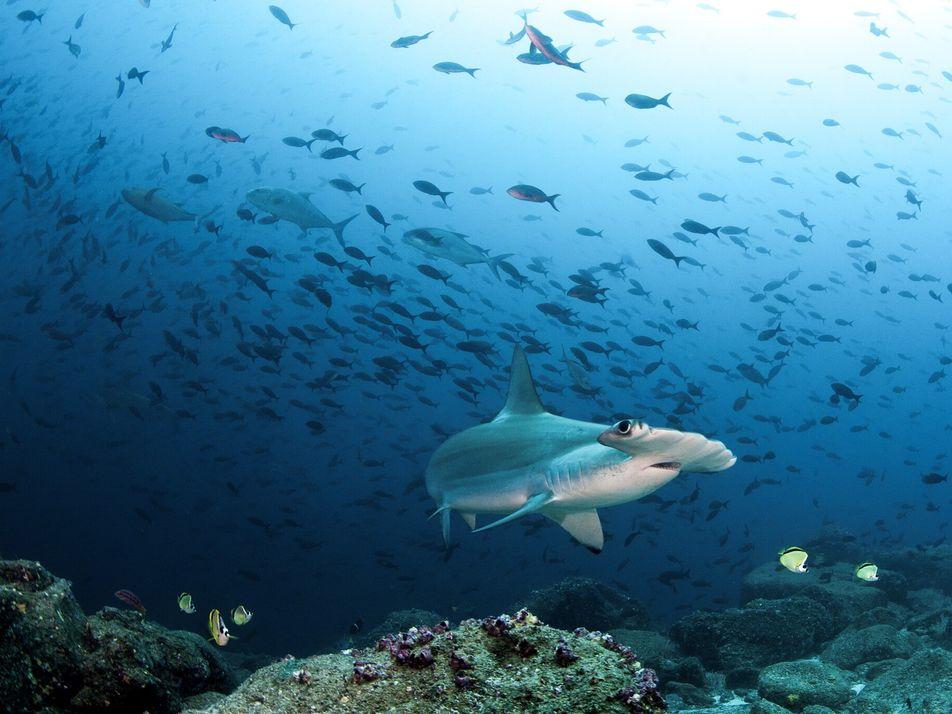 Vacunas contra la COVID-19 podrían poner en mayor peligro a los tiburones de aguas profundas