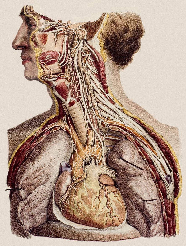 Una litografía coloreada a mano que muestra el cuello y la parte superior del torso disecado ...