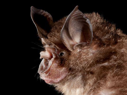 Los seres humanos están creando focos donde los murciélagos podrían transmitir enfermedades zoonóticas