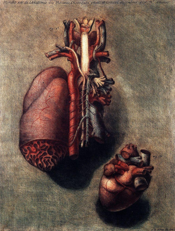 La ilustración hecha a mano que muestra dos disecciones del corazón dibujada en 1754 por Jacques ...