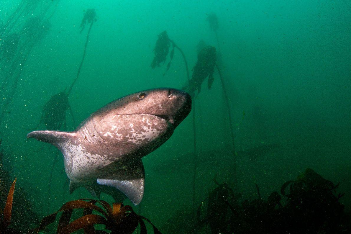Tiburón vaca de hocico corto. Sudáfrica.