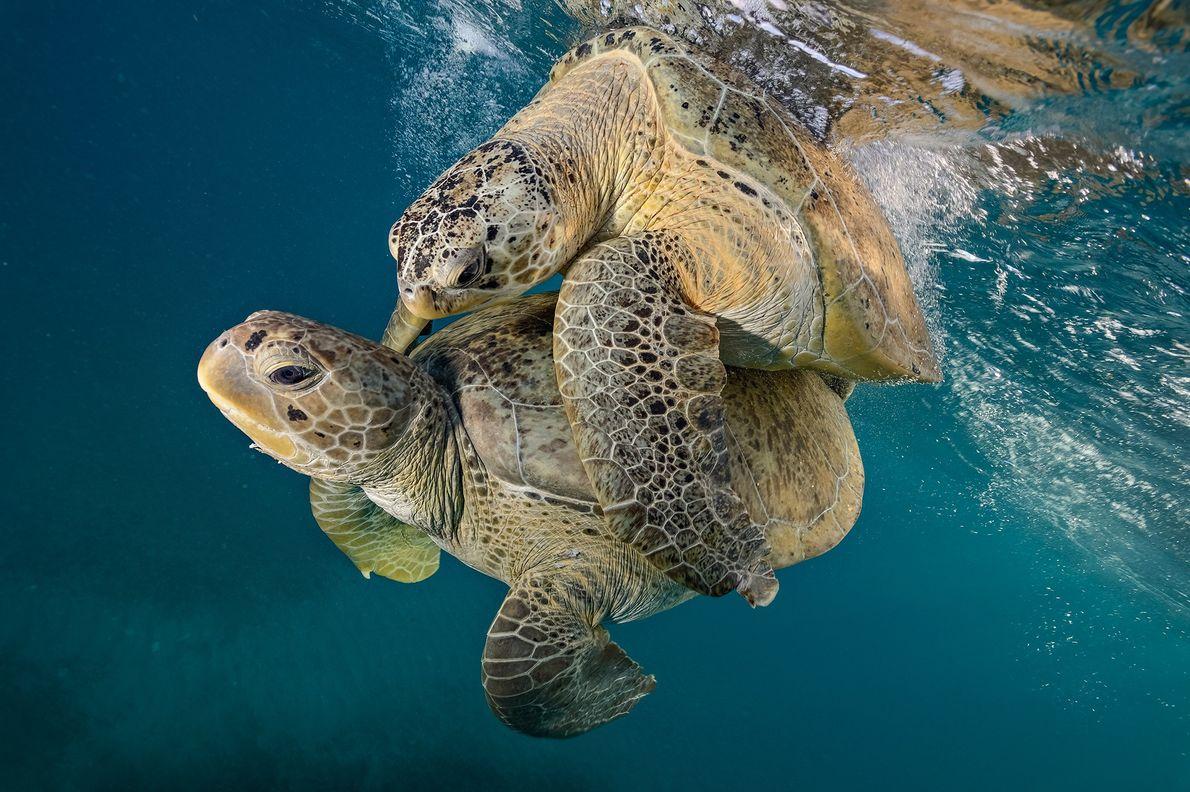 Unas tortugas verdes se aparean en el monumento marino nacional de la isla Buck, en St. ...