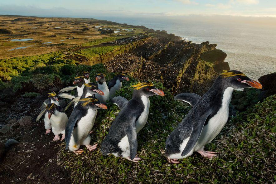 Con el pelaje recién mudado, una fila de pingüinos macarrones recorre la cresta de un antiguo ...