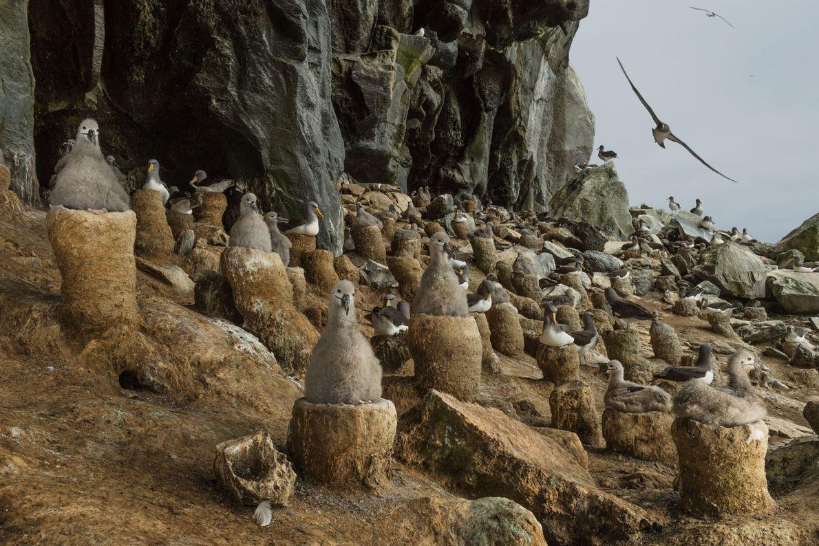 El sitio de anidación más protegido para los albatros está en las islas Chatham de Nueva ...