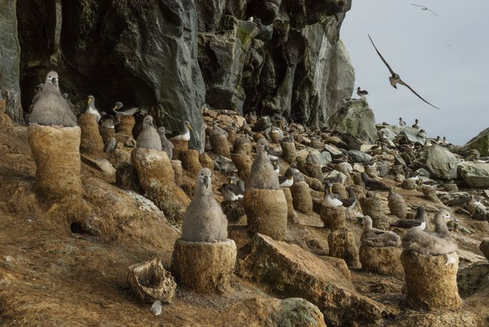 In New Zealand's Chatham Islands, the most sheltered nesting site for albatrosses is a natural cave ...