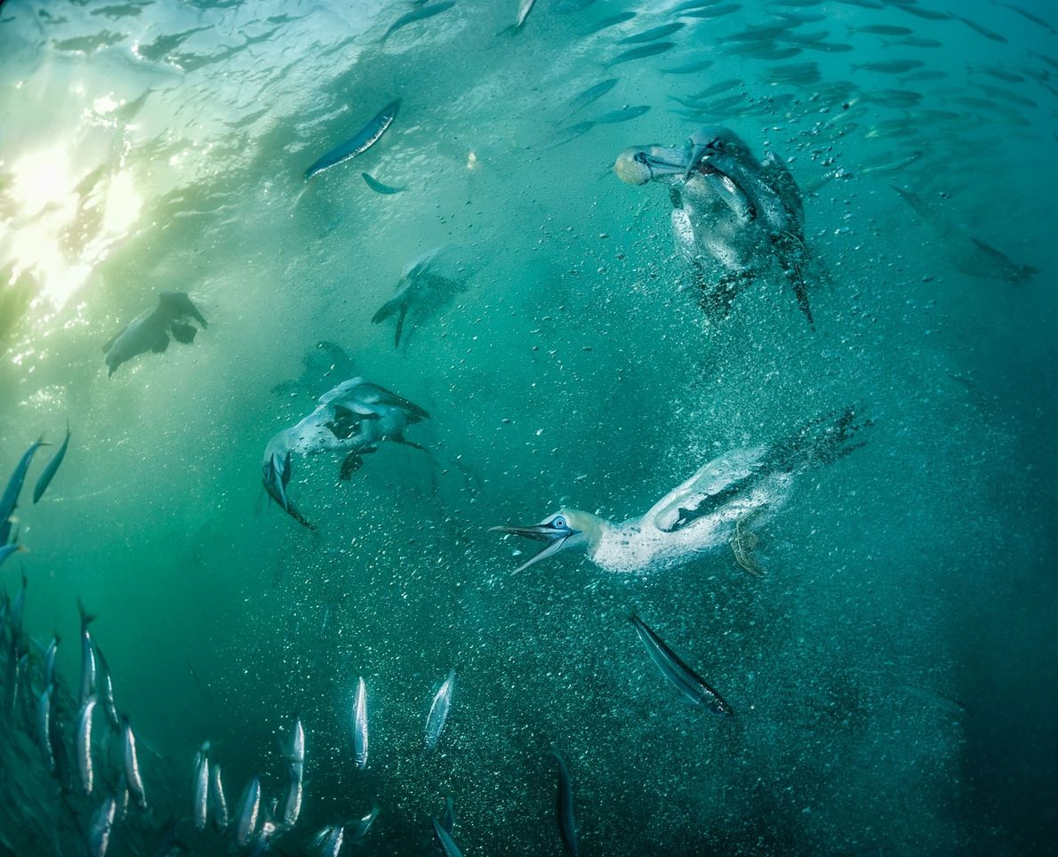 Después de caer al agua a 96 kilómetros por hora, los alcatraces de Cape Diving disfrutan ...