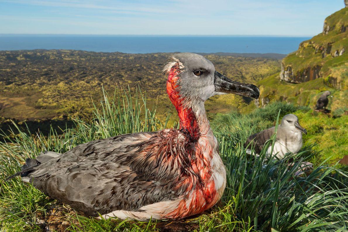 Este polluelo de albatros de cabeza gris que ha sido atacado en la isla subantártica de ...