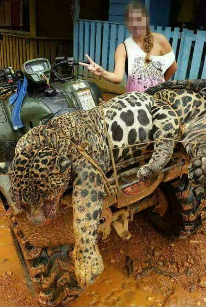 Una fotografía de las redes sociales obtenida por un investigador muestra a un jaguar muerto, supuestamente ...