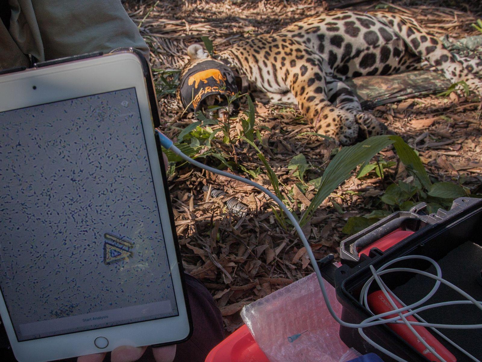 Recolección de semen de jaguar