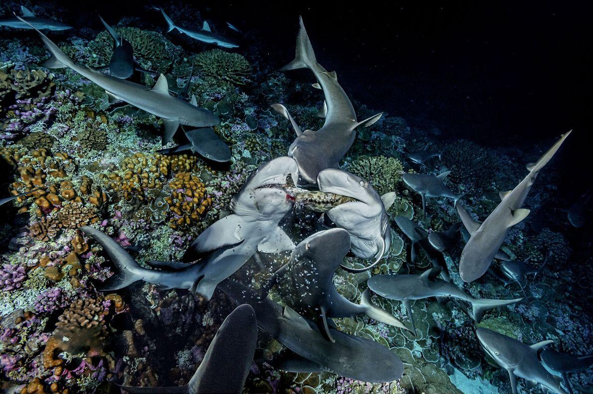 Dos tiburones despedazan un mero y restos de carne salen de sus fauces. Después de cazar ...