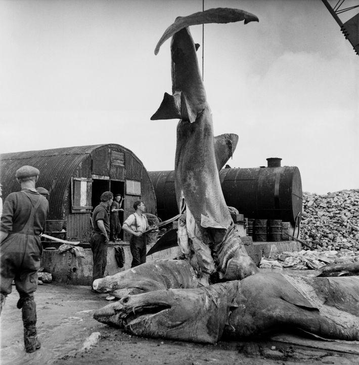 En esta foto histórica, un grupo de pescadores extrae el hígado de un tiburón en Keel Harbour, ...
