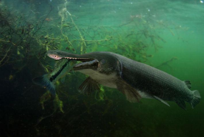 Un alligator garse alimenta. La especie es uno de los peces de agua dulce más grandes ...