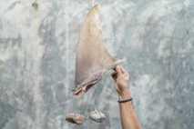 Una aleta de tiburón atada con rocas para que mantenga su forma mientras se seca. Un ...