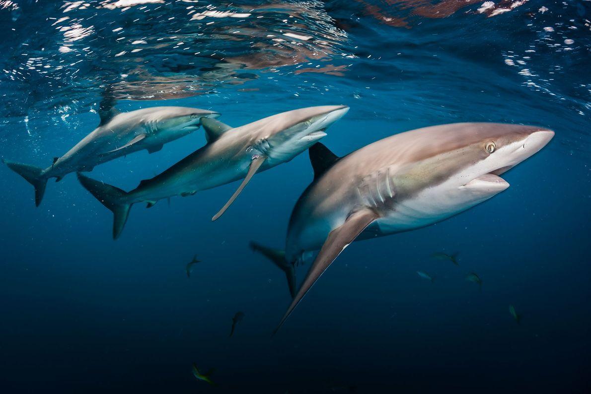 Tiburón sedoso. Jardines de la Reina, Cuba.