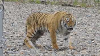 Tigre siberiano rescatado de las calles de la ciudad es devuelto a la naturaleza