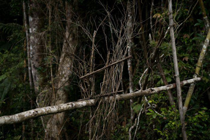 En ocasiones, para capturar lémures y obtener su carne de forma ilegal, los cazadores emplean trampas ...