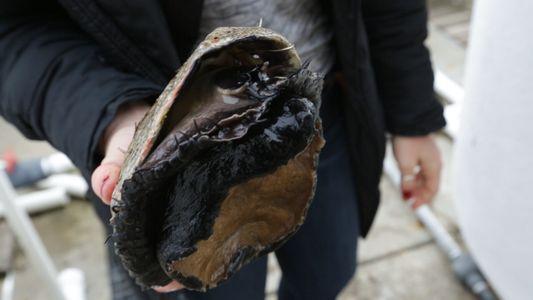 La desaparición de caracoles marinos adelanta un futuro climático sombrío