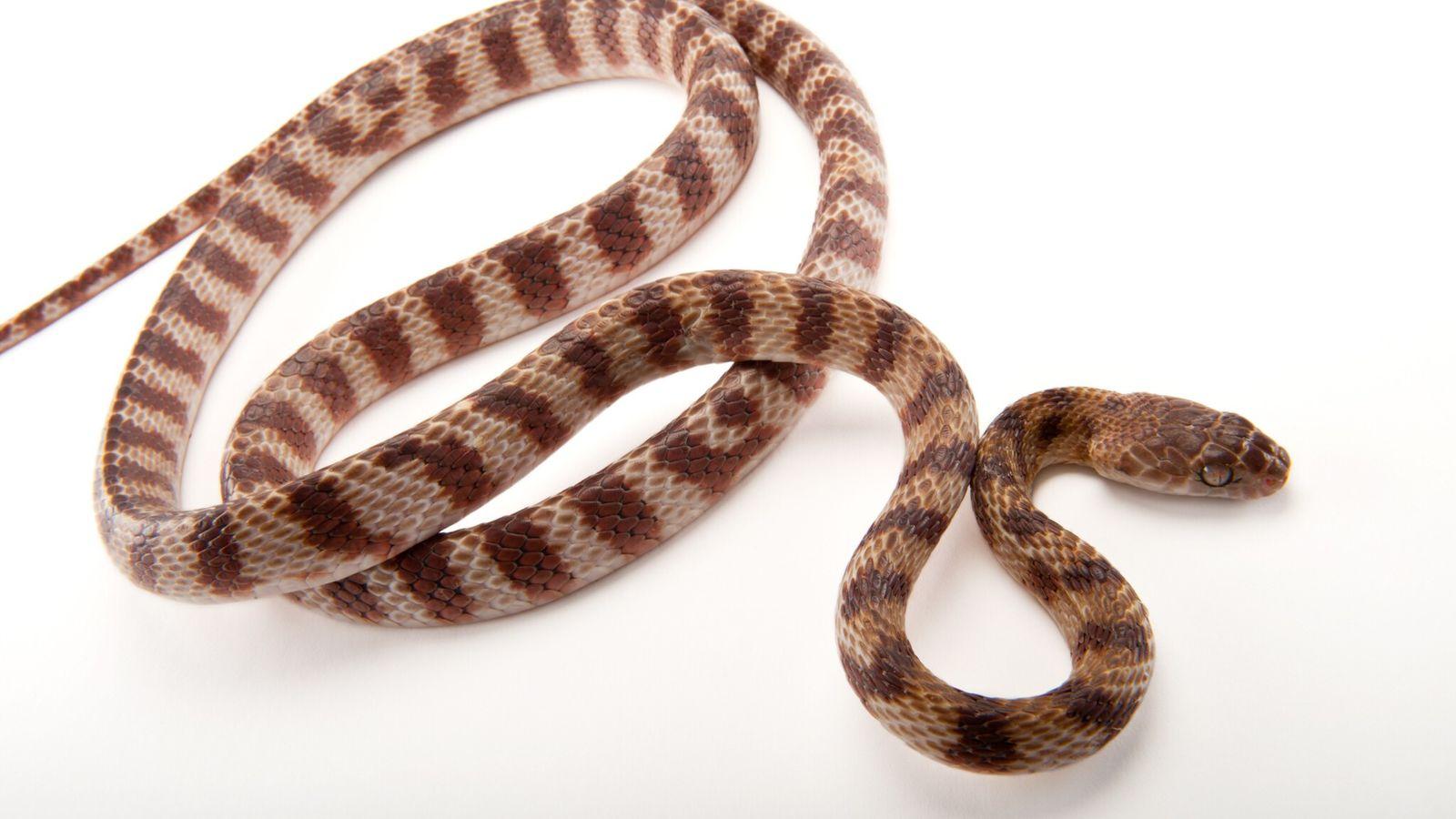 Una serpiente arbórea café (imagen del Henry Doorly Zoo en Omaha) puede medir hasta 3 metros ...