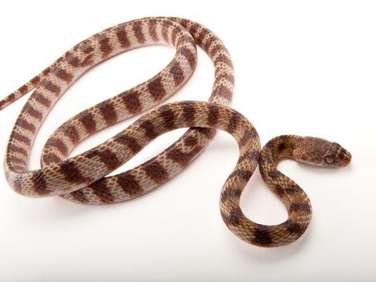 Serpientes invasoras pueden escalar con una forma de locomoción antes desconocida