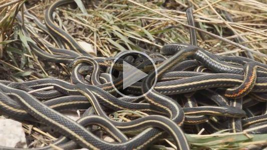 El exceso de sexo está matando a estas serpientes