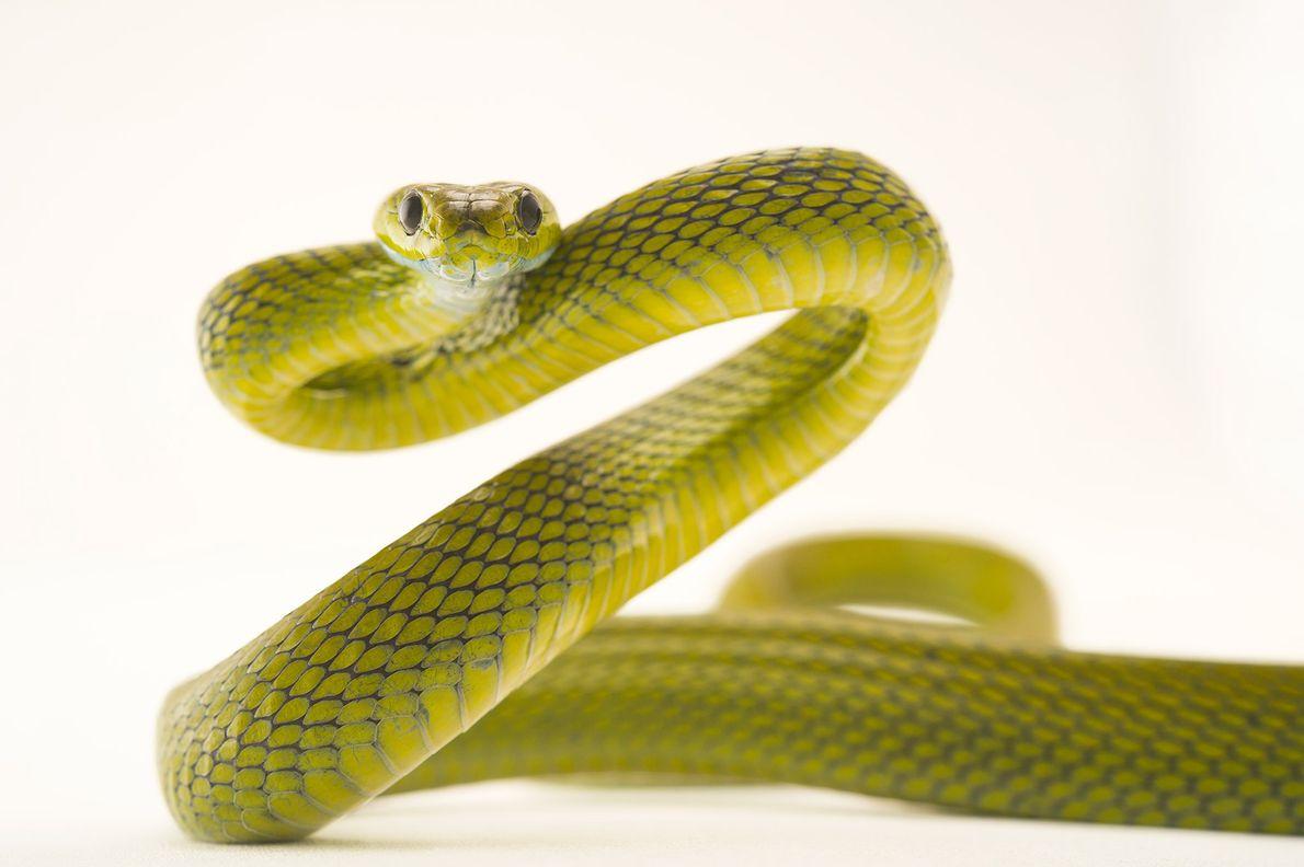 La serpiente gato verde habita en los bosques de Asia.