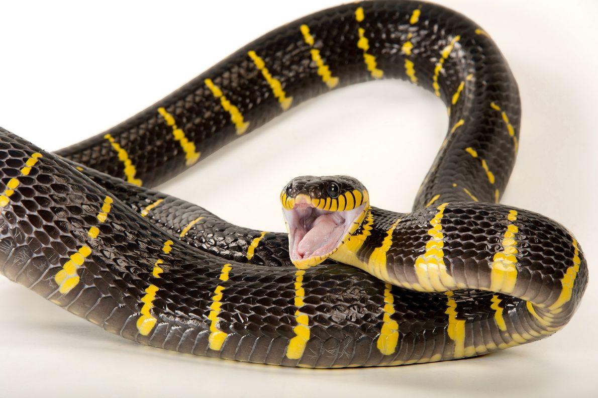 Las serpientes de manglar son nocturnas y tienen los ojos en forma vertical como un gato, ...