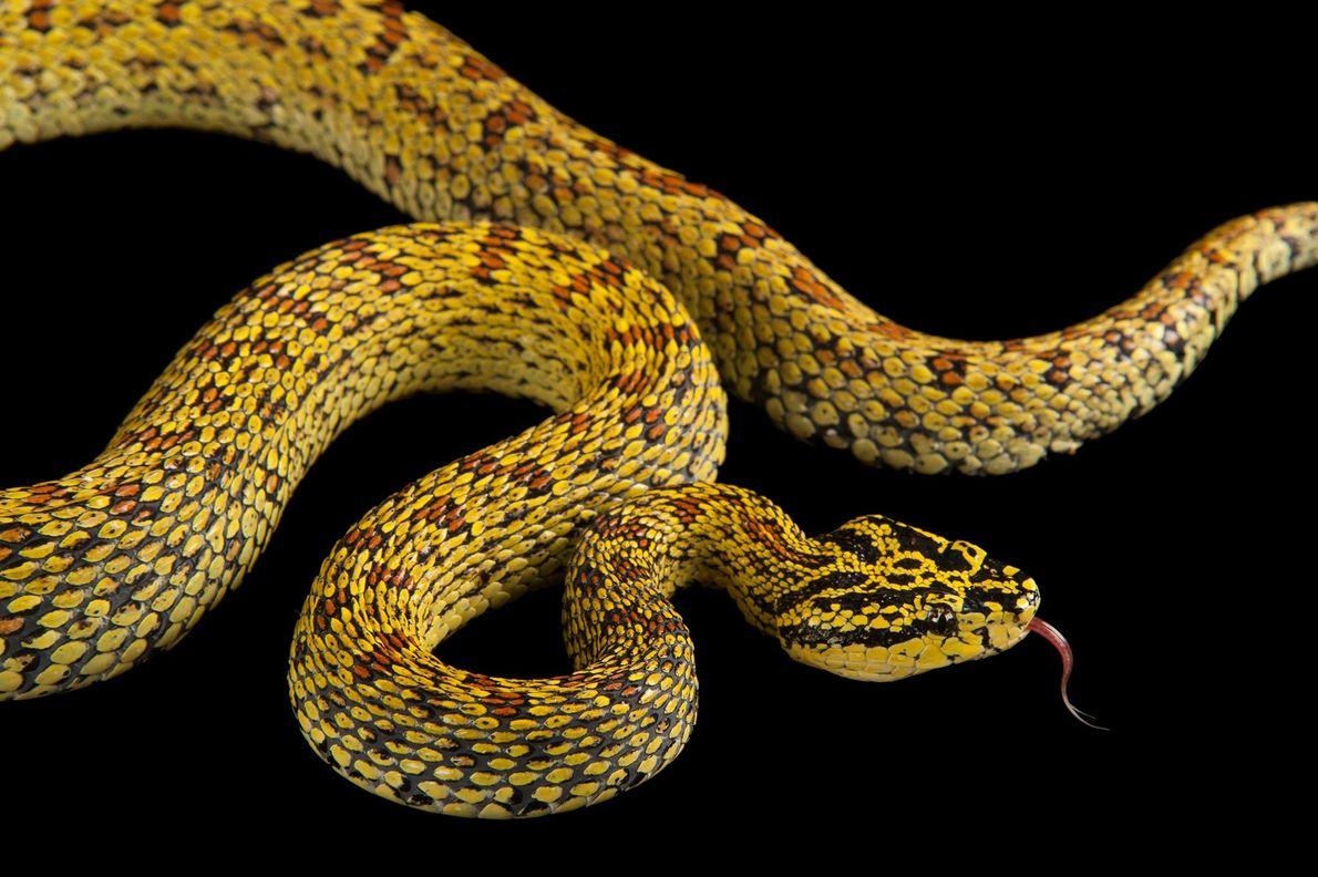 La víbora roja con manchas es una serpiente venenosa encontrada principalmente en Asia.