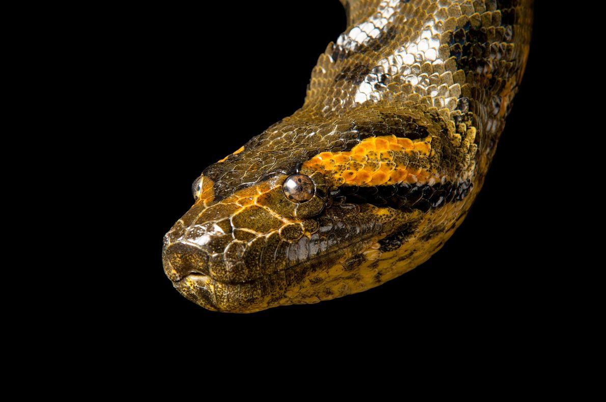 Las anacondas verdes como esta son las serpientes más grandes del mundo por el peso.